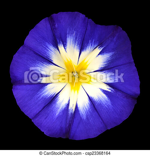 Blue Flower With White Yellow Star Center Isolated Blue Flower With
