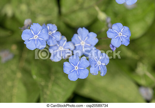 Small Blue Flowers In Spring Omphalodes Verna