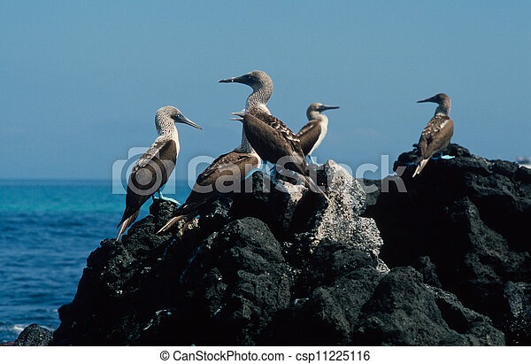 Blue-footed boobies - csp11225116