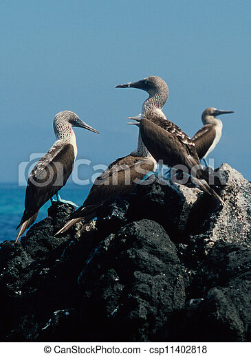 Blue-Footed Boobies - csp11402818