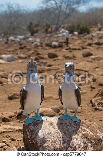 blue-footed boobies - csp5779647