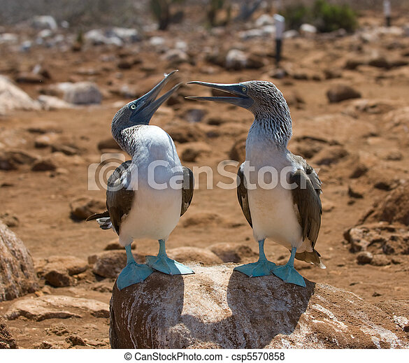 blue-footed boobies - csp5570858