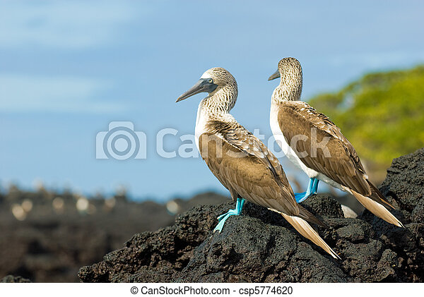 blue-footed boobies - csp5774620
