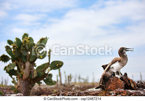 Blue footed booby chick - csp12487214