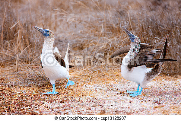 Blue footed booby mating dance - csp13128207
