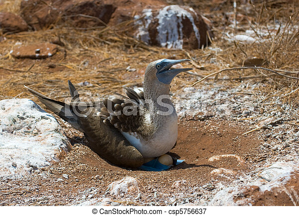 blue-footed booby on eggs - csp5756637
