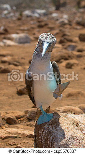 blue-footed booby - csp5570837