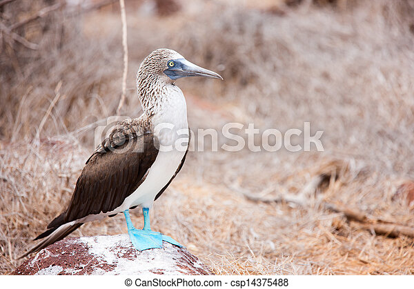 Blue footed booby - csp14375488