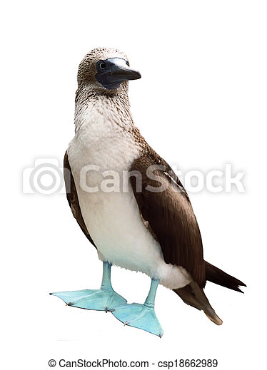 Blue-footed Booby - csp18662989