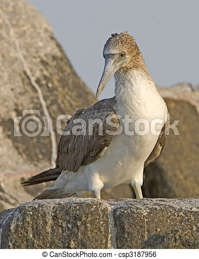 Blue-footed Booby - csp3187956