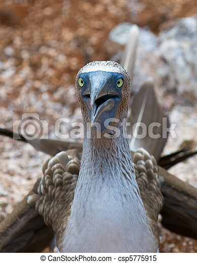 blue-footed booby - csp5775915