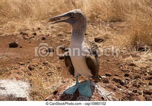 Blue-footed booby - csp10980102