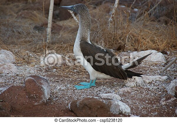 Blue footed Booby - csp5238120