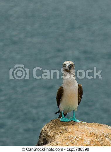 blue-footed booby - csp5780390