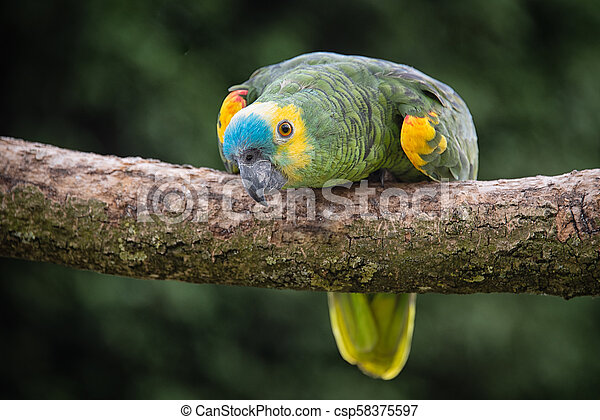 A Close Up Of A Blue Fronted Amazon Parrot On A Branch Looking