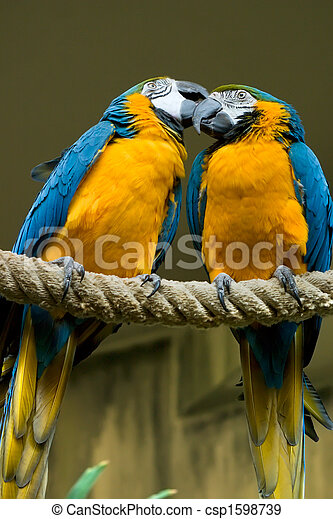 Blue Gold Macaw Couple - csp1598739