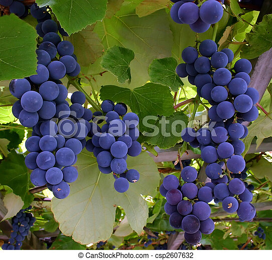Blue Grapes Hanging From a Vine - csp2607632