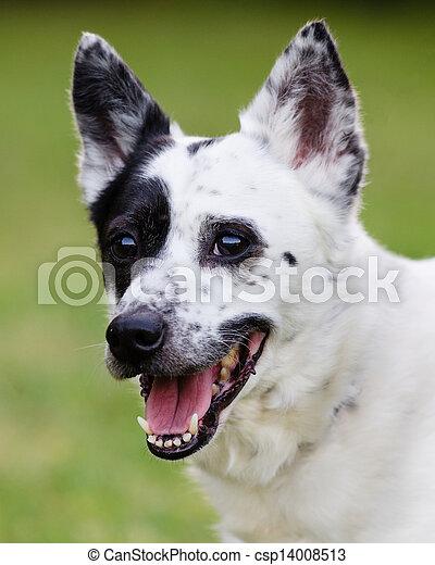 Blue heeler Australian cattle dog - csp14008513