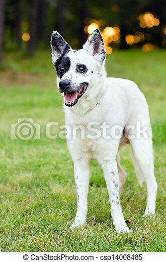Blue heeler Australian cattle dog - csp14008485