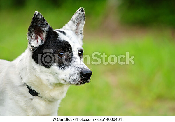 Blue heeler Australian cattle dog - csp14008464