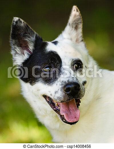 Blue heeler Australian cattle dog - csp14008456