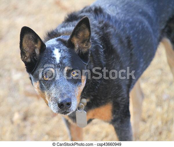 Blue heeler dog in winter grass - csp43660949