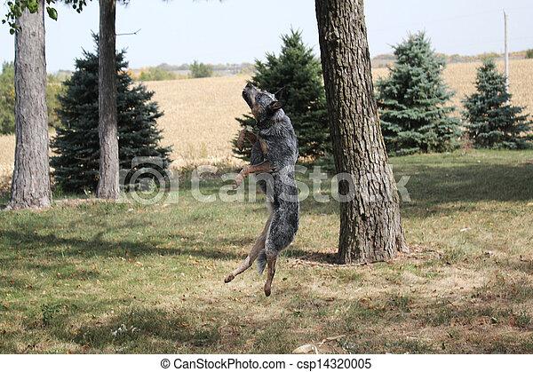 Blue Heeler Dog Jumping - csp14320005