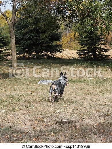 Blue heeler dog running away - csp14319969