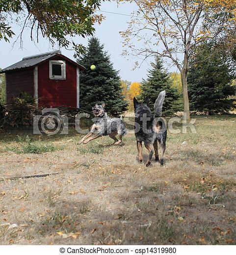 Blue heeler dogs playing - csp14319980