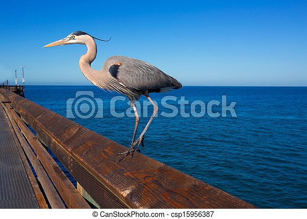 Blue Heron Ardea cinerea in Newport pier California - csp15956387