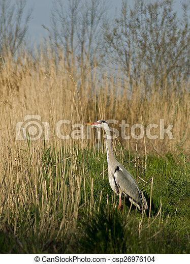 Blue heron (Ardea cinerea) in the reeds. - csp26976104