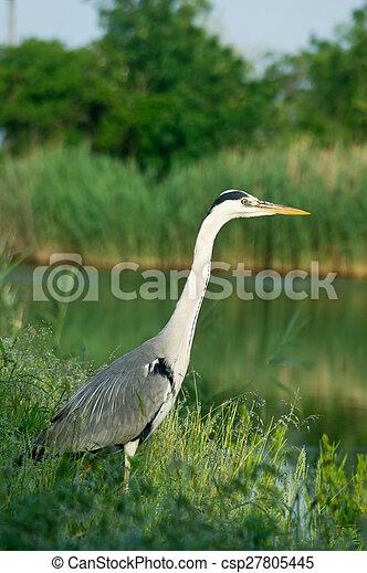 Blue heron (Ardea cinerea) - csp27805445