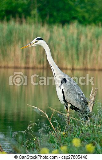 Blue heron (Ardea cinerea) - csp27805446