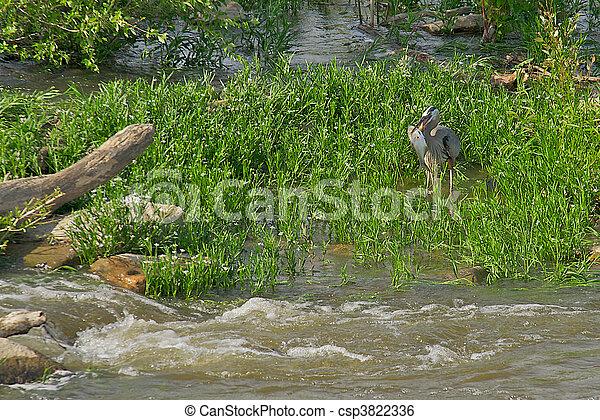 Blue Heron eating a fish. - csp3822336