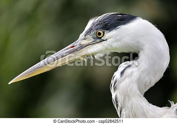 Blue Heron - csp52842511