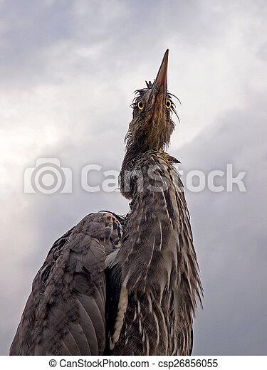 Blue Heron - csp26856055