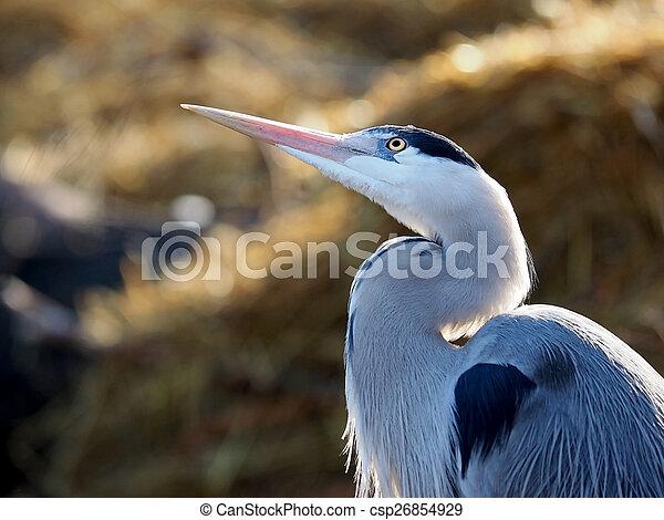 Blue heron - csp26854929