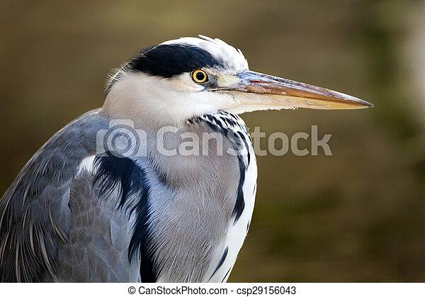 Blue Heron - csp29156043