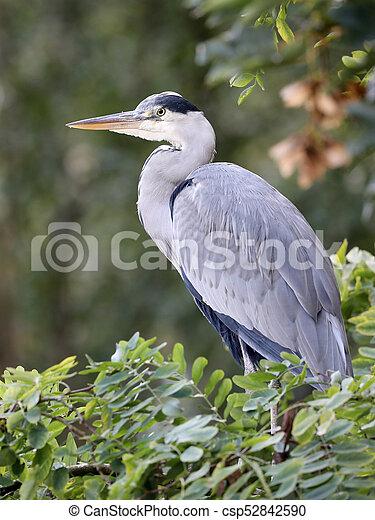 Blue Heron - csp52842590