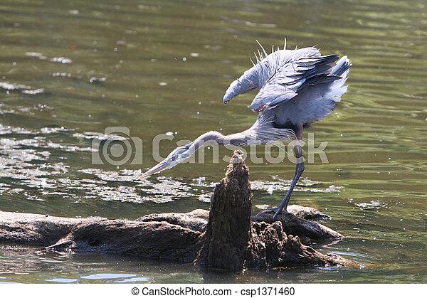 Blue Heron - csp1371460