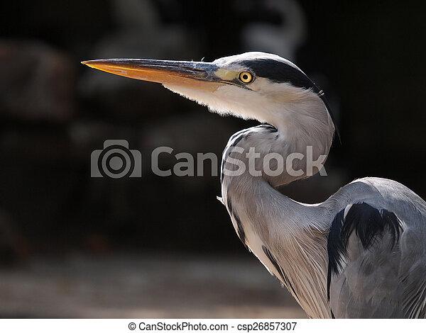 Blue Heron - csp26857307
