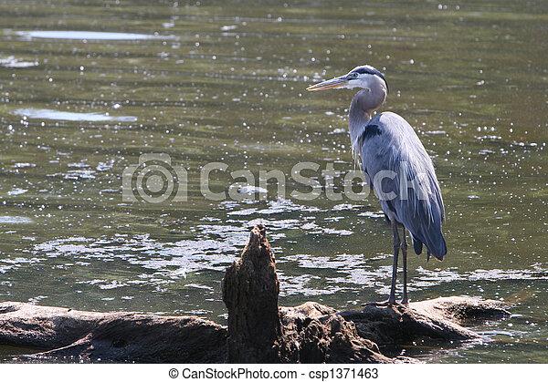 Blue Heron - csp1371463