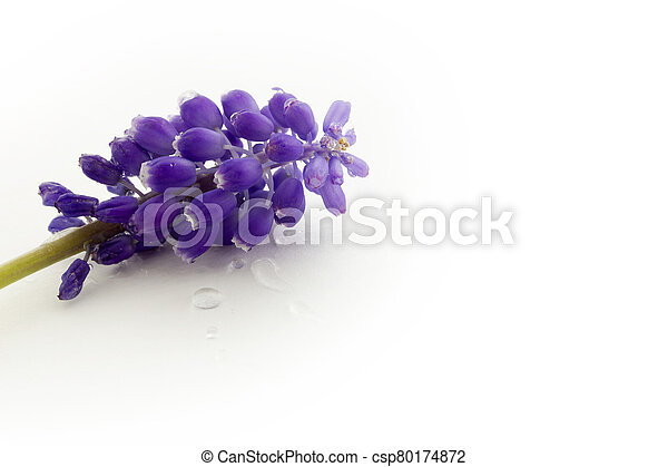 blue hyacinth isolated on a white background - csp80174872