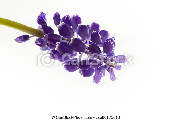 blue hyacinth isolated on a white background - csp80175010