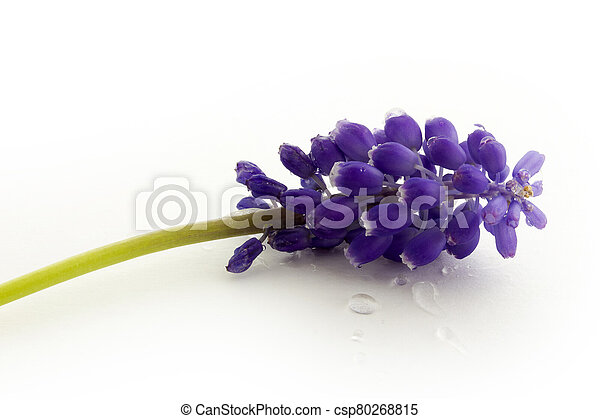 blue hyacinth isolated on a white background - csp80268815