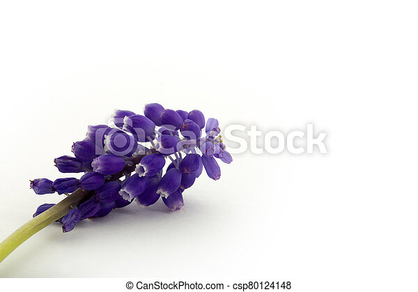 blue hyacinth isolated on a white background - csp80124148