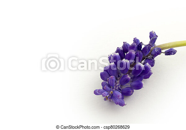 blue hyacinth isolated on a white background - csp80268629