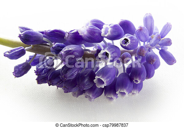 blue hyacinth isolated on a white background - csp79987837