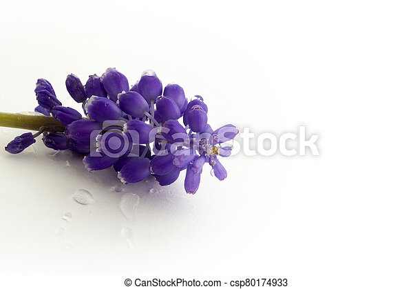 blue hyacinth isolated on a white background - csp80174933