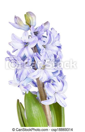 Blue hyacinth isolated on white background - csp18869314